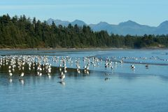 ptaki plażowi długo Zdjęcie Royalty Free