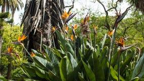Ptaki raj, Strelitzia reginae, botaniczni Zdjęcia Royalty Free
