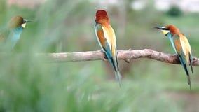 Ptaki raju zjadacza kotelni dancingowi tanowie zbiory