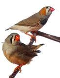 ptaki rozgałęziają się finch zebry dwa obraz stock