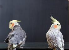 ptaki sparowanego rzadki Zdjęcie Royalty Free