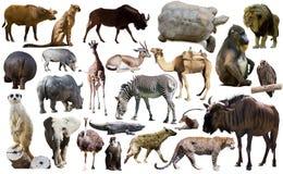 Ptaki, ssak i inni zwierzęta Afryka, odizolowywali Zdjęcie Royalty Free