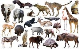 Ptaki, ssak i inni zwierzęta Afryka, odizolowywali Obrazy Stock