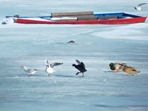 Ptaki szuka jedzenie na Zamarzniętej Danube rzece obrazy royalty free