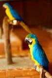 Ptaki Tajlandia Błękitna Żółta ary papuga Zwierzęta Azja zdjęcia stock