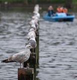 Ptaki umieszcza na drewnianych poczta w jeziorze przy Regent ` s parkiem w Londyn Zamazany błękitny łódkowaty widoczny w tle obrazy royalty free