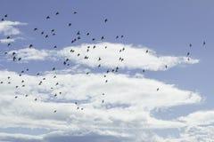 Ptaki W locie Obraz Royalty Free