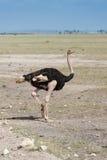 Ptaki w Masai Mara Obrazy Royalty Free