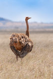 Ptaki w Masai Mara Zdjęcia Royalty Free