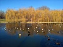 Ptaki w mieście - seaguls i kaczki na jeziorze fotografia stock