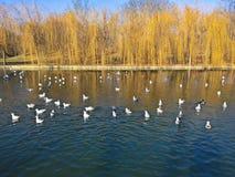 Ptaki w mieście - seaguls na jeziorze fotografia royalty free