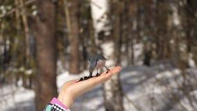 Ptaki w ręce jedzą ziarna zbiory
