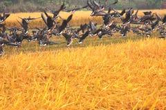 Ptaki w ryżu polu Zdjęcie Royalty Free