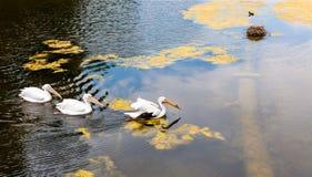 Ptaki w stawie, Londyn, Anglia Obrazy Royalty Free
