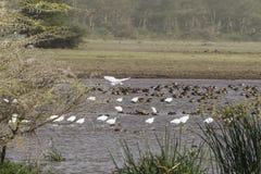 Ptaki w wodzie Zdjęcie Royalty Free