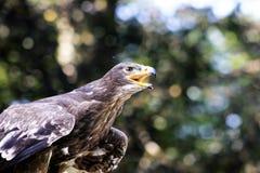 Ptaki zdobycz Zdjęcie Stock