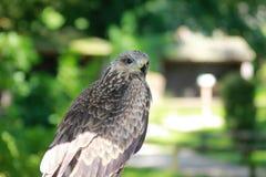 Ptaki zdobycz Fotografia Royalty Free
