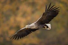 Ptaki zdobycz - Ogoniasty Eagle Haliaeetus albicilla zdjęcia stock