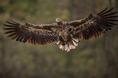 Ptaki zdobycz - Ogoniasty Eagle Haliaeetus albicilla zdjęcie stock
