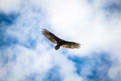 Ptaki zdobycza sępa latający niebieskie niebo zdjęcia stock