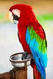 Ptaki, zwierzęta Czerwona Szkarłatna ary papuga Podróż, turystyka Thail zdjęcie royalty free