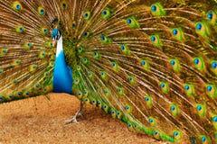 Ptaki, zwierzęta Paw Z Rozprężonymi piórkami Tajlandia, Azja obraz stock