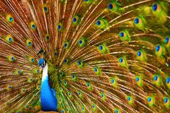 Ptaki, zwierzęta Paw Z Rozprężonymi piórkami Tajlandia, Azja zdjęcia royalty free