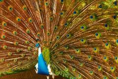 Ptaki, zwierzęta Paw Z Rozprężonymi piórkami Tajlandia, Azja obrazy stock