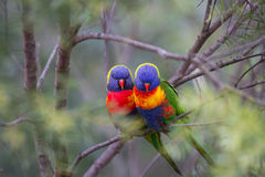 ptaków krzaka miłości położenia miękka część Zdjęcia Royalty Free