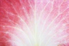 Pétala de Rosa Imagens de Stock