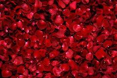 Pétales roses rouges Images libres de droits
