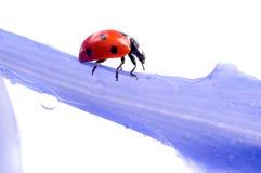 Pétalo de la flor con el ladybug Foto de archivo libre de regalías