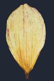 Pétalo seco de la flor de la dalia Fotografía de archivo libre de regalías