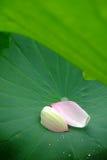 Pétalos de Lotus Foto de archivo libre de regalías