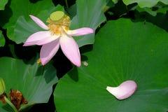 Pétalos de Lotus con la flor Fotografía de archivo libre de regalías