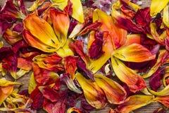 Pétalos dispersos del tulipán Fotos de archivo