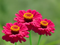 Pétalos rojos decorativos de la flor Fotos de archivo libres de regalías