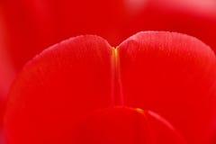 Pétalos rojos del tulipán Foto de archivo libre de regalías