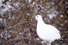 Ptarmigan. Focus on a single ptarmigan in sunlight Royalty Free Stock Photography