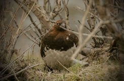 ptarmigan Obrazy Royalty Free