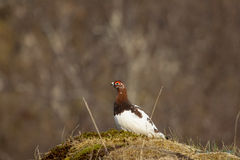 ptarmigan Foto de Stock Royalty Free