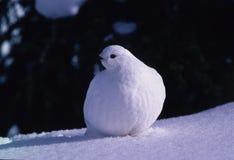 Ptarmigan. A ptarmigan in winter plumage sits on snow Stock Photo