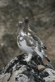 Ptarmigan birds on rock. Close up of two ptarmigan birds on rock Royalty Free Stock Image