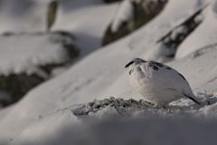 Ptarmigan, Lagopus muta, close up portrait while sitting, laying on snow during winter in winter/summer coat during autumn/wi. Nter on a mountain in the Royalty Free Stock Photos