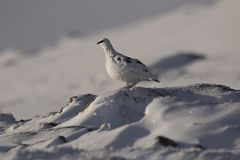 Ptarmigan, Lagopus muta, close up portrait while sitting, laying on snow during winter in winter/summer coat during autumn/wi. Nter on a mountain in the Stock Photos