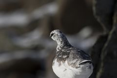 Ptarmigan, Lagopus muta, rock, close up portrait while perched on a mountain side in winter plumage with snow in the cairngorm nat. Ional park, Scotland Royalty Free Stock Image
