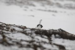 Ptarmigan, Lagopus muta, rock, pair of walking near each other in snow during winter in the cairngorms national park, february. Game bird Stock Photos