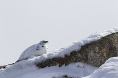 Ptarmigan, Lagopus muta, rock, walking on rock in snow during winter in the cairngorms national park, march. Scotland Royalty Free Stock Photos