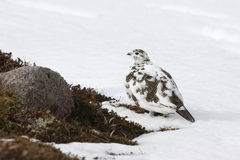 Ptarmigan, Lagopus-mutus Royalty-vrije Stock Foto's