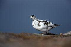 Ptarmigan, Lagopus mutus Royalty Free Stock Image